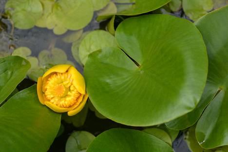Isoulpukan kukka on keltainen.