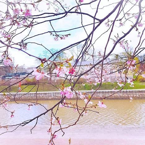 Kirsikkapuut kukkivat Turun jokirannassa.