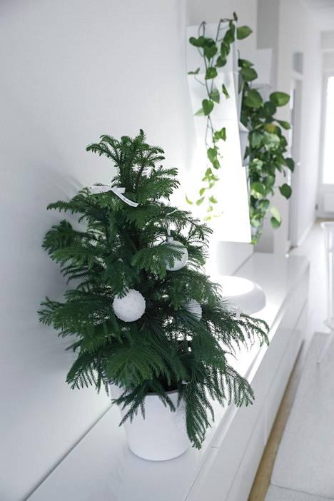 Samassa ruukussa kasvaa neljä huonekuusta, minkä ansiosta joulupuu on tuuhea.