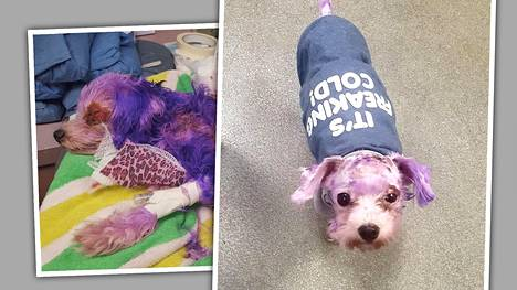 Omistaja värjäsi koiransa violetiksi hiusvärillä ja aiheutti pahat vammat – kaikki kuvat eivät sovi herkimmille