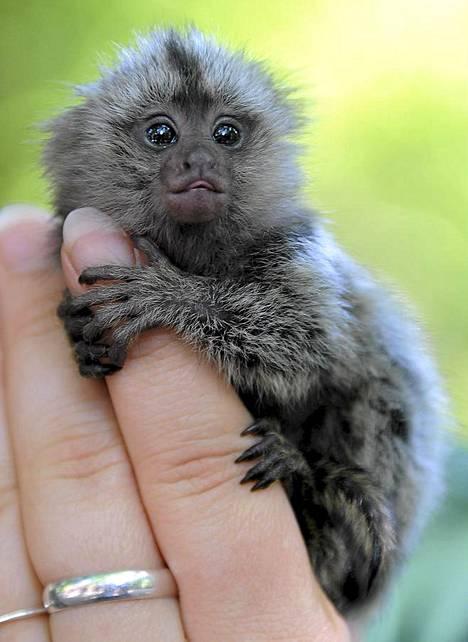 Ihmeellinen on maailma. Alle kuukauden ikäinen kynsiapina katselee maailman menoa ja pitää kiinni eläintenhoitajan sormesta Eberswalden eläintarhassa Saksassa. Kolme apinanpoikasta syntyi 29. kesäkuuta. Yksi poikanen otettiin eläintenhoitajien hoiviin, kun emo ei kyennyt ruokkimaan kuin kahta pienokaistaan.
