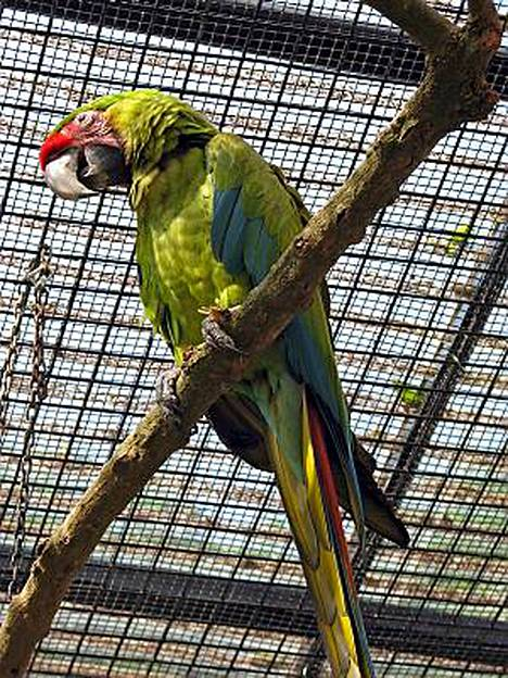 Red-papukaija osaa sekä englantia että kantoninkiinaa.