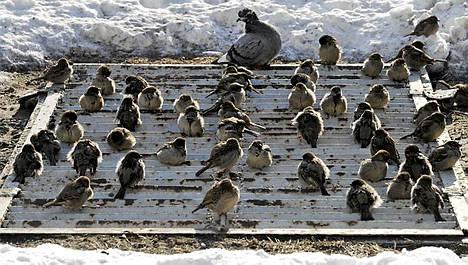 Linnut lämmittelivät metron ilmastointikanavan päällä Ukrainan Kiovassa torstaina.