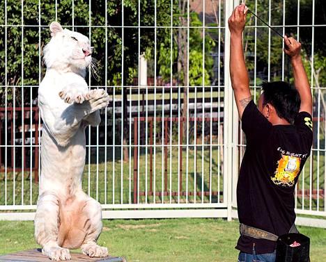 Thaimaalainen tiikerinkouluttaja Siripas Intakanok on kouluttanut valkean tiikerins liikehtimaan etelkorealaisen Psy:n Gangnam Style -kappaleen tahtiin.