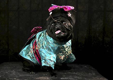 Penny-mopsi oli puettu Geishaksi.