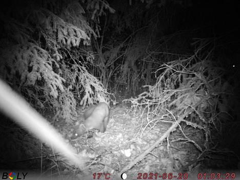 Näätä hapuilee öisessä metsässä.