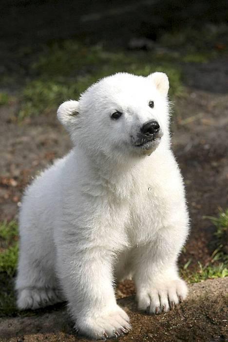 Knut kolmen kuukauden ikäisenä.