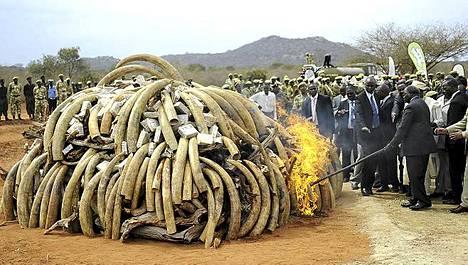 kenian presidentti Mwai Kibaki tuikkasi norsunluun tuleen.