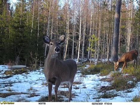 Janne Rajalan lähettämässä kuvassa riistakameraan töllistelee kaunis peura.