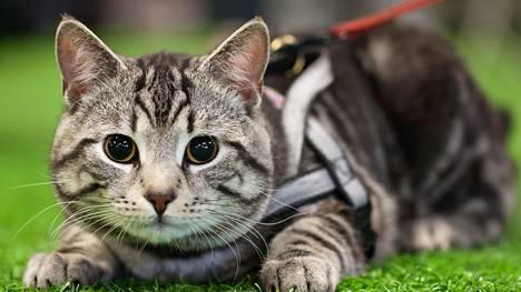 Ilmaveivi-Mikke on eurooppalainen kissa.
