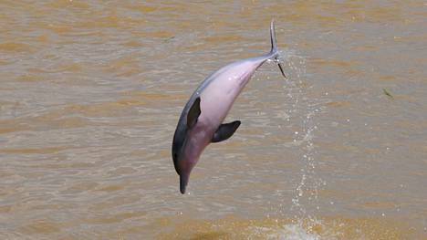Kuvituskuva elävästä delfiinistä.