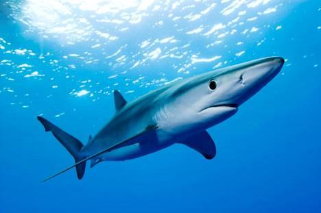Myös haita uhkaa sukupuutto, mikäli merten lämpötilan nousua ei saada pysäytettyä.