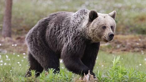Karhu kuvituskuvassa.