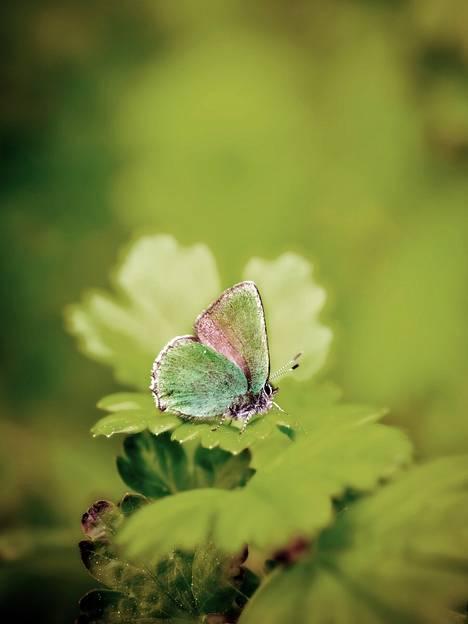 Kangasperhosen lentoaika oli tänä vuonna harvinaisen myöhään. Toukokuun perhosta tavattiin vielä juhannuksenakin.