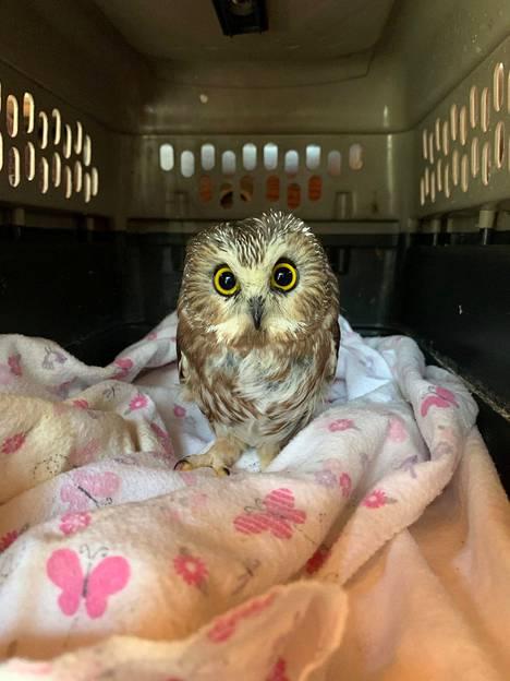 Pöllö on saanut hiiriä ja juotavaa eläinhoitolassa.