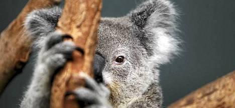 Osassa Australiaa koala on nyt uhanalainen, kun toisaalla maassa sen leviämistä joudutaan hillitsemään.
