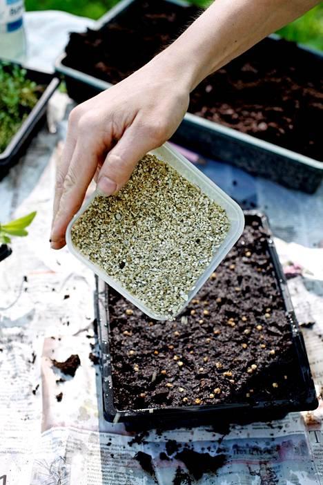 4. Kylvö peitetään ohuesti esimerkiksi puutarhakeskuksissa myytävällä vermikuliitilla. Peittämiseen käy myös karkea hiekka tai ohut multakerros.