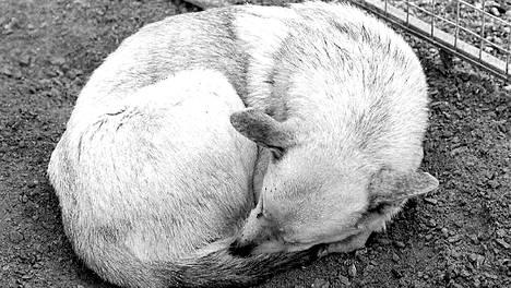 Punkaharjulla vuonna 1996 kiinnioteusta koiralaumasta kaksi koiraa muistutti väritykseltään erehdyttävästi sutta.