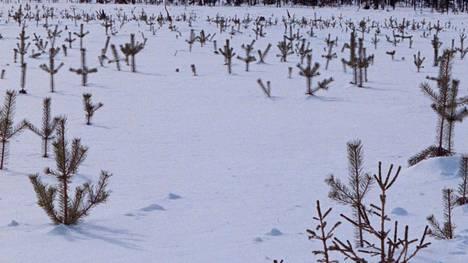 Maastoautoilijat ja moottoripyöräilijät runnovat metsänhoitajan mukaan nuorta taimikkoa.