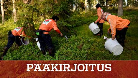 Thaimaalaisia poimijoita työssään Suomen metsissä. Tänä vuonna heitä ei nähdä, ja marjasato jää mättäisiin.
