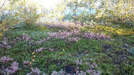 Metsämaa on saanut lilan värin Utsjoen Kevolla.