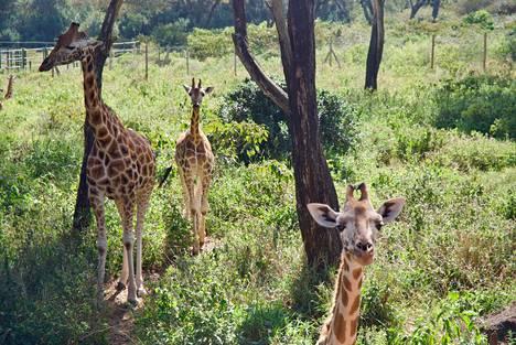 Giraffe Manorin alueella elää 14 Rotchild-kirahvia. Laji oli vaarassa hävitä kokonaan, mutta viimeisten vuosikymmenien aikana niiden määrä on kasvanut.
