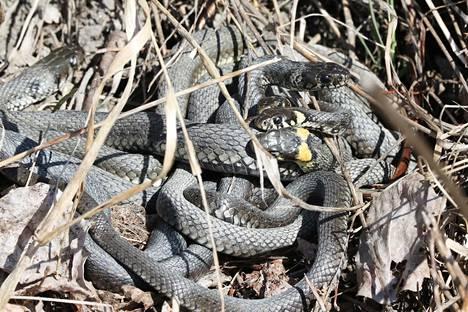 Sekä kyy- että rantakäärmeitä voi nyt nähdä kymmenien käärmeiden nippuina, kun vaihtolämpöiset käärmeet lämmittävät toisiaan auringon paisteessa.