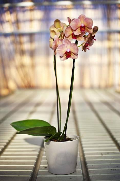 Orkidea tulee siirtää, jos se esimerkiksi kasvaa ulos ruukusta.