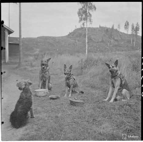 Airedalenterrieri saa katsella ja ottaa oppia, kuinka toiset koirat malttavat odottaa lupaa ruokailla. Päivitys kuvatekstiin klo 16.10: Korjattu terrierin rotu.