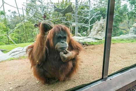 Karen-oranki oli ensimmäinen apina, jolle suoritettiin avosydänleikkaus vuonna 1994, sai nyt ensimmäisten apinoiden joukossa koronavirusrokotteen.