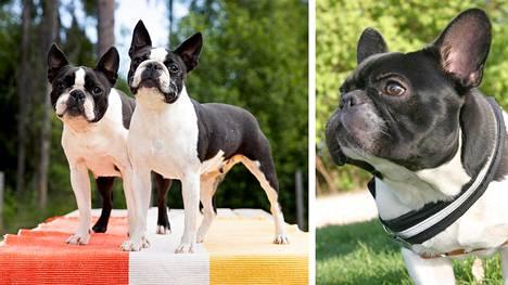 Kennelliiton tuoreiden tilastojen mukaan useiden lyhytkalloisten koirarotujen rekisteröintimäärät ovat laskeneet vuonna 2020.