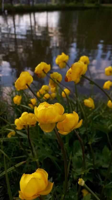 Kukkaloistoa veden ääressä Vihdissä.