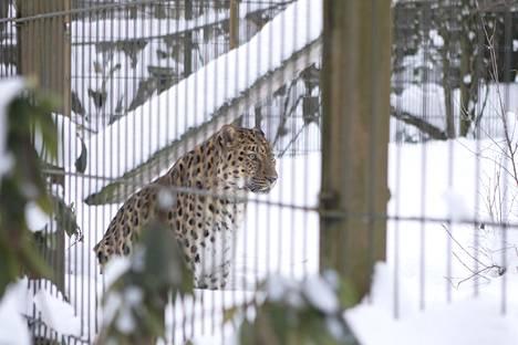 Amurinleopardi on leopardien alalajeista pohjoisin, ja tykkää myös lumesta.