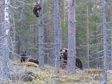 Useita minuutteja kestäneen kohtaamisen aikana karhut pysyivät paikallaan ja tarkkailivat tilannetta.