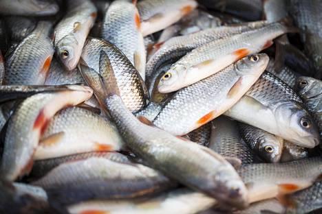 Suomessa tavataan 19 eri särkikalaa, Janne Rautio kertoo kirjassaan. Ne ovat kaikki hyviä kaloja, hän toteaa.