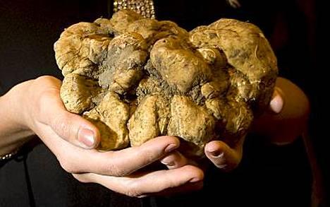 Tästä 1,08 kiloa painavasta tryffelistä maksettiin huutokaupassa 156 600 euroa.