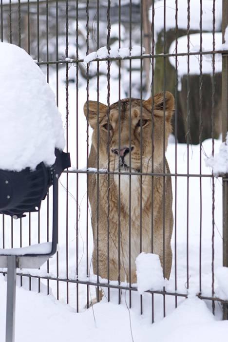 Leijonanaaras kävi myös ihmettelemässä kinoksia.