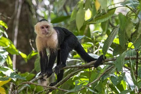 Kapusiiniapina Costa Ricassa.