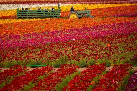 Traktori kierrätti maskeihin sonnustautuneita ja muoviseinillä toisistaan erotettuja vierailijoita kukkaketojen keskellä.