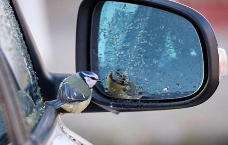 Kari ikuisti kuviinsa auton sivupeilin edessä erikoisesti käyttäytyneen linnun. Asiantuntija kertoo, mistä ilmiössä on kysymys.