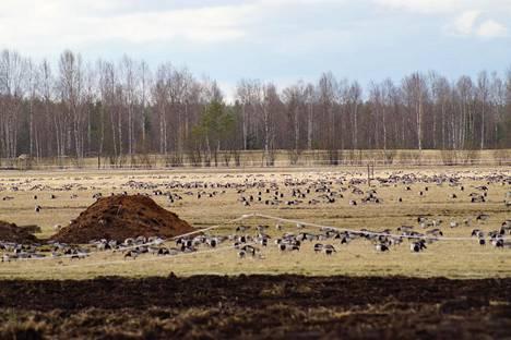 Valkoposkihanhet ovat viljelijöiden riesana Pohjois-Karjalassa.