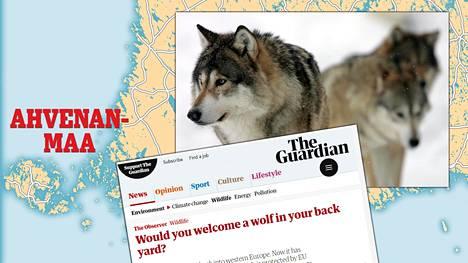 Brittilehti The Guardian kertoi Ahvenanmaalle siirtyneistä susista. Arkistokuvan sudet eivät liity tapaukseen.