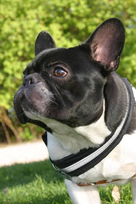 Ranskanbulldoggien rekisteröinti vähentyi viime vuonna 13,7 prosenttia edellisvuoteen 2019 verrattuna.