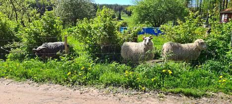 Ahvenanmaanlampaat Unna, Ulpu ja Kipinä ottavat mallia vuohitovereistaan.