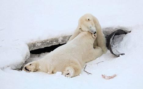 Jääkarhu Sisun ja emon hellä hetki tallentui videolle: Pian koittaa aika, kun iso rötkö muuttaa omilleen