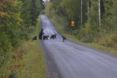 Puolitoistavuotias plottinajokoira Elvis yhytti karhut.