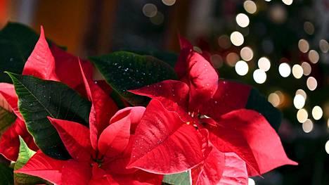 Asiantuntija kertoo, miten saat joulutähden säilymään hyvänä pitkään, jopa vuosia.