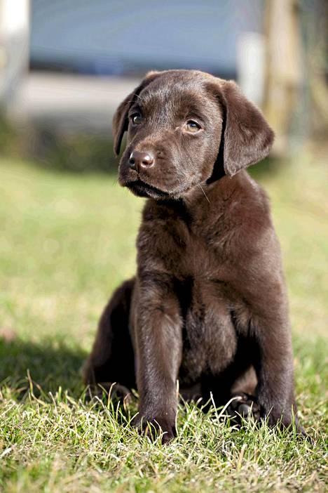 Suklaan värinen labradorinnoutjan pentu ihmettelee maailmaa.