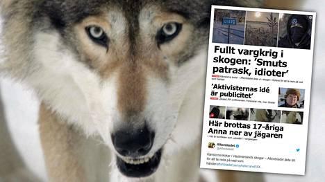 Aftonbladet vieraili Västmanlandetin läänissä, missä metsästäjät ja aktivistit ovat ajautuneet ilmiriitaan keskenään. Viranomaiset myönsivät syksyllä alueelle luvan kuuden suden kaatamiseksi.