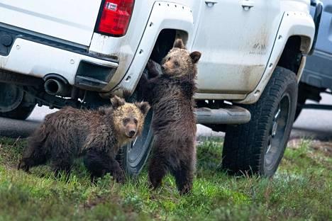 Karhut autontuunauspuuhissa Wyomingin osavaltiossa Yhdysvalloissa.
